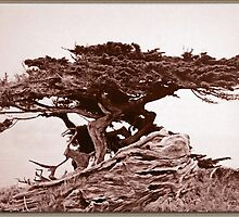 Sepia Cypress by Chet  King