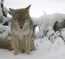 Coyote by Lynn Stratton