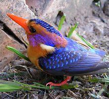 Pygmy Kingfisher by Brian Edworthy