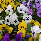 A Profusion of Pansies by lezvee