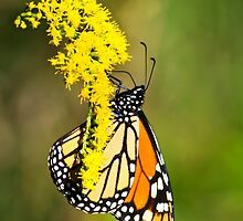 Monarch Butterfly on Goldenrod by Christina Rollo