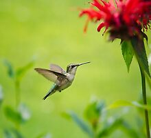 Hummingbird Paradise by Christina Rollo