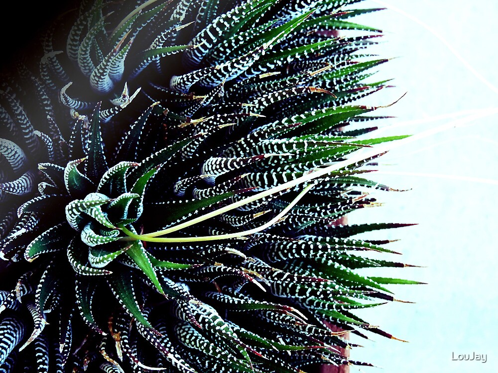 Haworthia attenuata by LouJay
