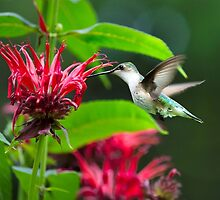 Backyard Hummingbird by Christina Rollo