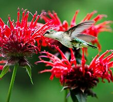 Hummingbird Heaven by Christina Rollo