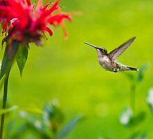 Hummingbird Happiness by Christina Rollo