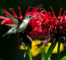 Hummingbird Garden Delight by Christina Rollo