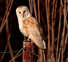 Barn Owl - Tyto Alba by outwest photography.co.uk