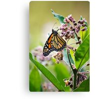 Monarch Butterfly on Milkweed Flower Canvas Print