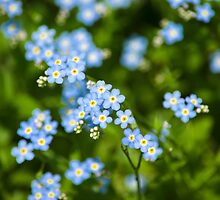 Abstract Wildflowers Forget me nots by Christina Rollo