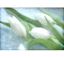 3 tulips Photographic Print