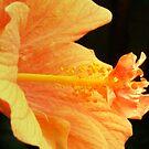 Orange hibiscus by Maria1606