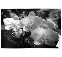 BW orchids Poster