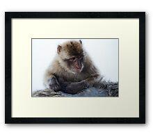 Young Gibraltar Macaque Framed Print