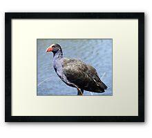 Swamp Hen Contemplations Framed Print