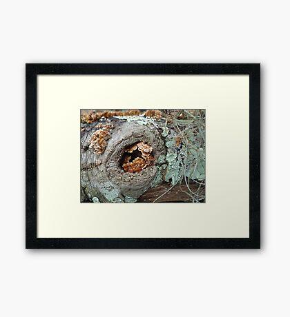 Shelf Fungi in a Knot Framed Print