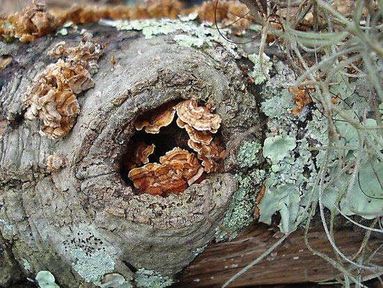 Shelf Fungi in a Knot by May Lattanzio