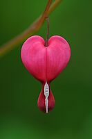 Dicentra spectabilis by JHRphotoART
