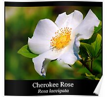 Cherokee Rose (Rosa laevigata) Poster