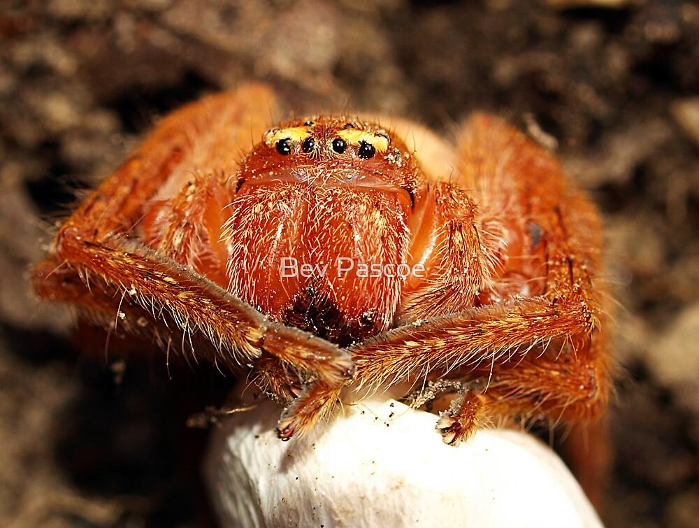 Arachnid with egg sac by Bev Pascoe