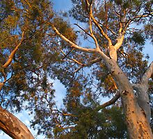 River Red Gum at Dawn by jembot