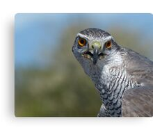 Northern Goshawk Close Canvas Print