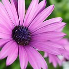 Closeup photo of purple daisy by pulen