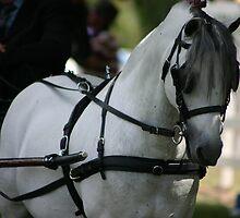 Grey Stallion in harness~ Rylestone-Kandos Show 2010 by MomentsinTime