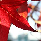 Red maple leaf by pulen
