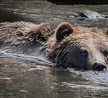 Grouse Mountain Grizzly by Marie  Cardona