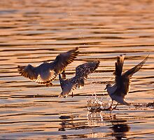 Black-headed gulls at sunset by Gabor Pozsgai