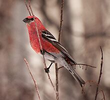 Pine Grosbeaks on Red Alder by Joy Danen