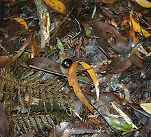 Snail's Pace on the Rainforest Floor - Otway Ranges by imaginethis