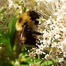 Fuzzy Bee by shutterbug2010
