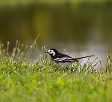 Pied Wagtail by M.S. Photography/Art