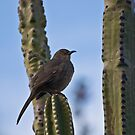 Curve-Billed Thrasher on Cactus by Kgphotographics