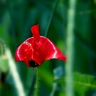 Lonely Poppy by trueblvr