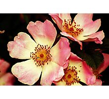 The Wild Roses Photographic Print