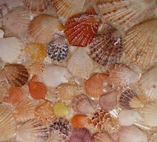 A Collection of Fan Shells. by Mywildscapepics