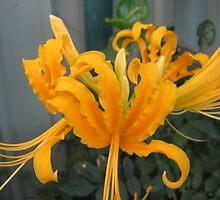 Lycoris Yellow Lily. by Mywildscapepics