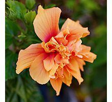 Soft Hibiscus Photographic Print