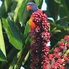 Lorikeets in our umbrella trees at home. by Frandiana
