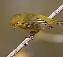 Yellow Warbler by tomryan