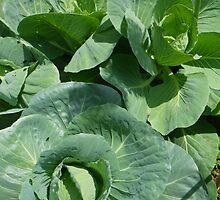 Cabbage Patterns by Betty Mackey