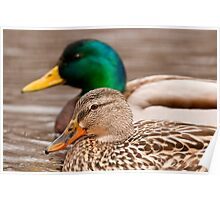 Male and Female Mallard Duck Poster