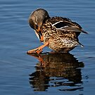 Take A Bow _ Female Mallard Duck by Michael Cummings