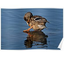 Take A Bow _ Female Mallard Duck Poster