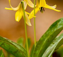 Dogs Tooth Lily - Erythronium Sticker