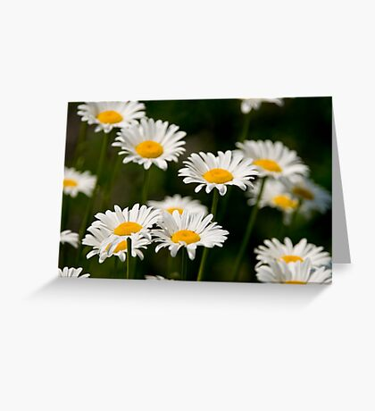 Oxe-eye Daisy Greeting Card
