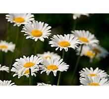 Oxe-eye Daisy Photographic Print